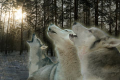 Three wolves howling in the winter forest Royalty Free Stock Photo