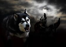 Three wolves and a moon in the clouds. Dark gloomy night with the moon in the clouds three wolves royalty free stock photo