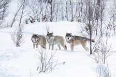Three Wolves in the Snow. Wolf pack in a norwegian winter forest. Snowing Stock Images