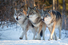 Three wolves walking side by side in winter forest. All three reaching out with the same leg, looking in common direction royalty free stock photo