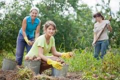 Women harvesting potatoes Royalty Free Stock Image