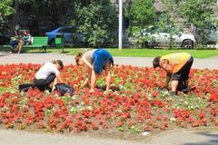 Three women weed city flowerbed Stock Image
