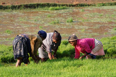Three women at work in the rice fields of Betafo, Madagascar Stock Photography