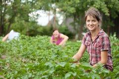 Three women working in field. Of potato Royalty Free Stock Photo