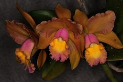 Three wonderfull orchid flowers. Beautiful orchids from brazil Stock Image