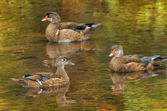 Three wood ducks Stock Photo