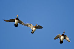 Three Wood Ducks Flying in a Blue Sky Royalty Free Stock Images