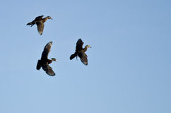 Three Wood Ducks Flying in a Blue Sky Stock Photo