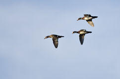 Three Wood Ducks Flying in a Blue Sky Stock Photography