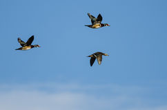 Three Wood Ducks Flying in a Blue Sky Stock Images