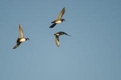 Three Wood Ducks Flying in a Blue Sky Stock Photos