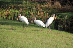 Three Wood Storks in the Grass Royalty Free Stock Photos