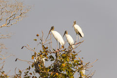 Three Wood Storks perched in a tree Stock Images