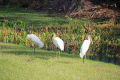 Three Wood Storks Stock Photos