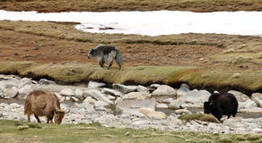 Three yaks Stock Photography