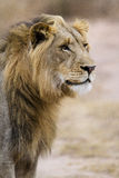 Three years old LIon. Lion of three years old in the bushes in bushveld Stock Image