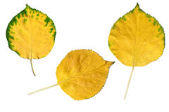 Three yellow autumn leaves Stock Image