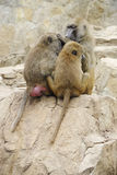 Three Yellow Baboons Stock Photos