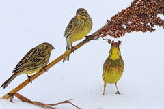 Three yellow bird breakfast on snow Royalty Free Stock Images