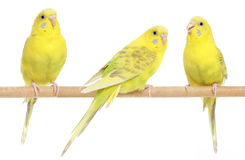 Three yellow budgie on branch Stock Photography