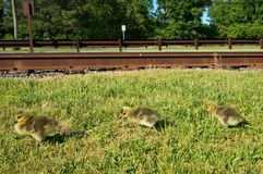 Three yellow canadian goose chicks walking on the grass along the railroad tracks with green trees on the background royalty free stock photos