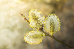 Three yellow catkin on branch, at sunset Stock Photos