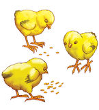 Three yellow chickens. Peck grain Royalty Free Stock Images