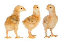 Three yellow chickens Royalty Free Stock Image