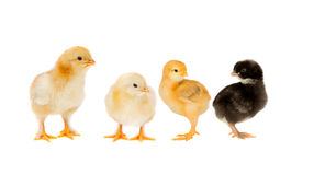 Three yellow chickens looking at one black Royalty Free Stock Photos