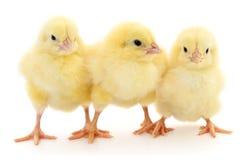 Three yellow chickens. Stock Photo