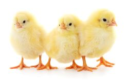 Three yellow chickens. Three yellow chickens  on white background Royalty Free Stock Images