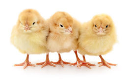 Three yellow chickens. Stock Images