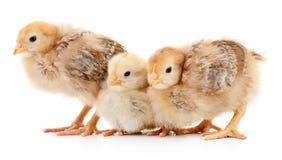 Three yellow chickens. Stock Photos