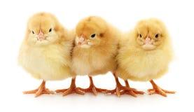 Three yellow chickens. Stock Image