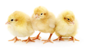 Three yellow chickens. Royalty Free Stock Photo