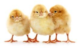 Three yellow chickens. Royalty Free Stock Photos