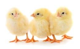 Three yellow chickens. Three yellow chickens on white background stock photos