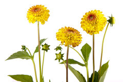 Three yellow chrysantemum isolated on white Royalty Free Stock Photo