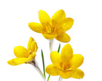 Three Yellow Crocus. Flowers with morning dew drops isolated on white Stock Image
