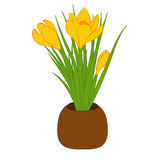 Three yellow crocus in brown pot isolated on white background. Bouquet with crocus. Vector illustration. Three yellow crocus in brown pot isolated on white Stock Images