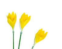 Three yellow crocus flowers Royalty Free Stock Images