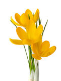 Three  yellow crocus flowers. Royalty Free Stock Images