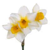 Three yellow-cupped white jonquil flowers. Single stem with three yellow-cupped white-corona jonquil flowers of cultivar 'Goldfinch' isolated against a white stock images