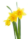 Three yellow daffodil flowers. Isolated on white background stock images