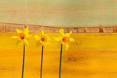 Three Yellow Daffodil flowers - Narcissus Royalty Free Stock Images