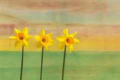 Three Yellow Daffodil flowers - Narcissus Royalty Free Stock Photos