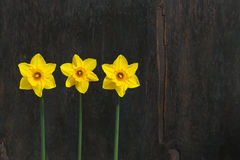 Three Yellow Daffodil flowers - Narcissus Stock Photo