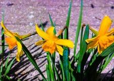Three yellow daffodil flowers Stock Photos