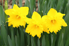 Three yellow daffodils Stock Images