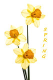 Three Yellow Daffodils Translucent with Bypass Tre Royalty Free Stock Image